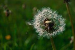 mlecz świeżości pojęcia pokoju, łąkowi przydatnych tematów wiosennego fotografia stock