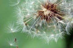 mlecz nasion wiatr fotografia stock