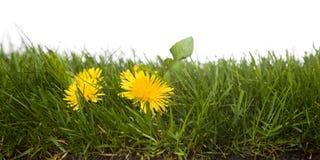 mlecz trawy. obraz royalty free
