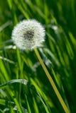 mlecz trawy. Obrazy Stock