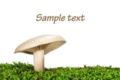 Mlecznobiały brittlegill pieczarki russulaceae Obrazy Stock