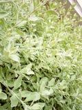 Mlecznozieloni liście w mój ogródzie Obrazy Stock