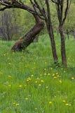 mleczy drzewa Zdjęcia Royalty Free