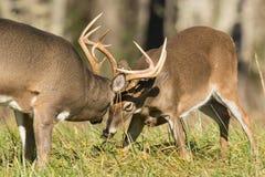 mâles Blanc-coupés la queue de cerfs communs Photos stock