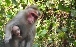 1 20mm 7附有了照相机E-F密林透镜猴子奥林匹斯山p1 panasonic照片被采取的新加坡 免版税库存照片