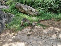 (1) 20mm 7 dołączali kamery e f dżungli obiektywu małp Olympus p1 panasonic obrazek Singapore brać Zdjęcia Royalty Free