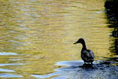 MM00A-1604 PARCAF ANM DUCK D3000 Stock Photography