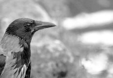 MM00A-1606 ANM BIRD CROW D3000 Royalty Free Stock Photo