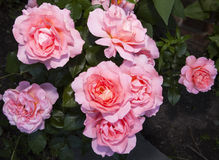 Mme Caroline Testout Cl Rose Fotos de archivo libres de regalías
