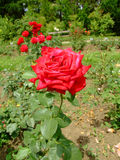 MME Delbard Rose Royalty Free Stock Images