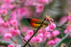 mme ` S Sunbird de Gould ou gouldiae d'Aethopyga, oiseau rouge étant perché dessus Image stock