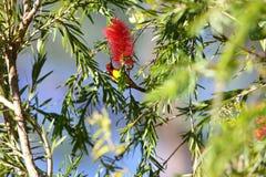 mme Sunbird de Gould photographie stock libre de droits
