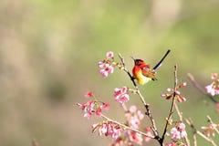 mme Sunbird de Gould photos stock