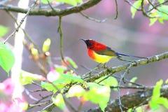 mme Sunbird de Gould photo libre de droits