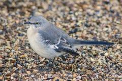 Mmockingbird en la tierra fotografía de archivo