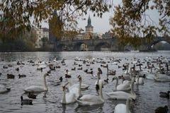 Mnóstwo łabędź w Praga rzece Zdjęcia Stock