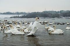 Mnóstwo łabędź w rzecznym zima czasie obraz royalty free