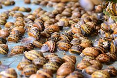 Mnóstwo ślimaczki na gospodarstwie rolnym na kultywaci ślimaczki Obraz Royalty Free