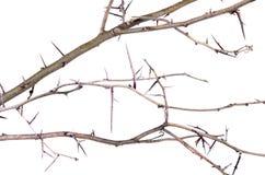 Mnóstwo akacja rozgałęzia się z cierniami odizolowywającymi na białym backgroun obraz royalty free
