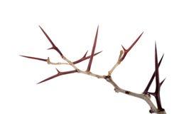Mnóstwo akacja rozgałęzia się z cierniami odizolowywającymi na białym backgroun fotografia stock