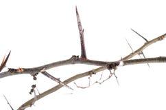 Mnóstwo akacja rozgałęzia się z cierniami odizolowywającymi na białym backgroun obrazy stock
