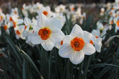 Mnóstwo białego kwiatu narcyz Obraz Stock