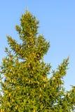 Mnóstwo brąz konusuje na gałąź jedlinowy drzewo przeciw t i fotografia royalty free
