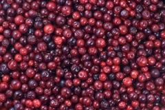Mnóstwo cranberries łgarski puszek na horyzontalnej powierzchni Piękny świeżej owoc tło zdjęcia stock