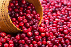 Mnóstwo cranberry z wiązu drewnem Obraz Royalty Free