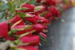 Mnóstwo czerwieni róża Obraz Royalty Free
