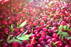 Mnóstwo czerwone czereśniowe jagody kłama pod słońcem z liśćmi Piękny tło Zdjęcia Royalty Free