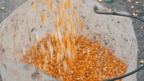 Mnóstwo dojrzała żółta kukurudza nalewał w wielkiego białego wiadro zbiory