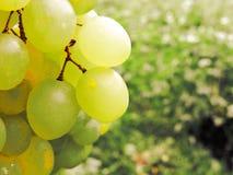Mnóstwo dojrzali winogrona w górę Gronowy rodzaj Winniców dojrzali winogrona w żniwo sezonie fotografia royalty free