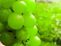 Mnóstwo dojrzali winogrona w górę Gronowy rodzaj Winniców dojrzali winogrona w żniwo sezonie obraz royalty free
