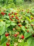 Mnóstwo dzikie truskawki zakrywają ziemię ogród obraz royalty free