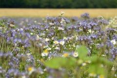 Mnóstwo fiołek i biały kwitniemy w lata słońcu fotografia stock