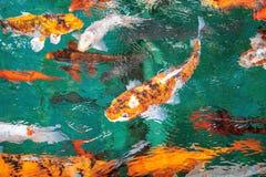 Mnóstwo Galanteryjna karpia, bzdury, Koi rybia pomarańcze lub lub, wodna fala Zdjęcia Royalty Free