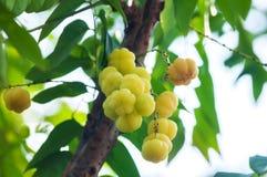 Mnóstwo Gwiazdowy agrest, tropikalna owoc Zdjęcia Royalty Free