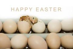 Mnóstwo jajka w inkubatorze i jeden one, kluli się małego c Obraz Royalty Free