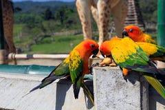 Mnóstwo kolorowa papuga cieszy się łasowania jedzenie Fotografia Royalty Free
