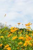 Mnóstwo kosmos pomarańcze kwiaty Zdjęcie Royalty Free