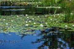 Mnóstwo leluja ochraniacze na jeziorze Zdjęcia Stock