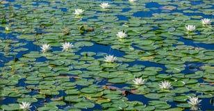 Mnóstwo leluja ochraniacze na jeziorze Fotografia Royalty Free