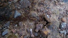 Mnóstwo mrówki biega z powrotem do domu zbiory