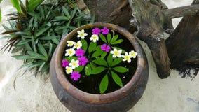 Mnóstwo purpurowi kwiaty frangipani na wodzie w wielkiej wazie i biel Japoński zen ogród dla relaks równowagi zbiory