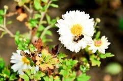 Mnóstwo rumianek kwitnie na lato rumianku łąkowym polu w lato bielu rumiankach Zdjęcie Stock