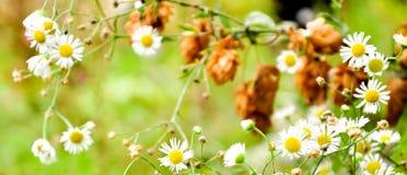Mnóstwo rumianek kwitnie na lato rumianku łąkowym polu w lato bielu rumiankach Obrazy Stock