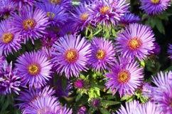 Mnóstwo rumianków kwiaty fotografia stock