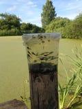 Mnóstwo tadpoles pływanie w plastikowym wiadrze Przyszłościowe żaby żyją w stawie zakrywającym z zielonym duckweed obrazy royalty free
