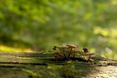 Mnagic mushrooms Stock Photography